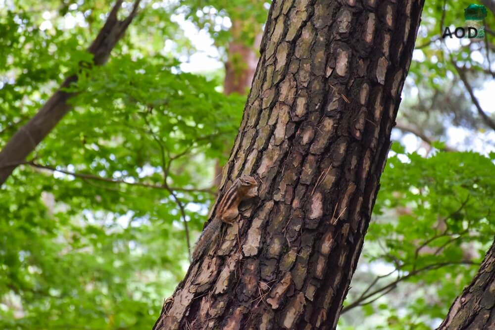 Streifenhörnchen, die hier und da über den Weg und auf den Bäumen huschen