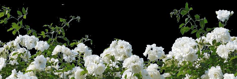 Weiße Rosen zum White Day